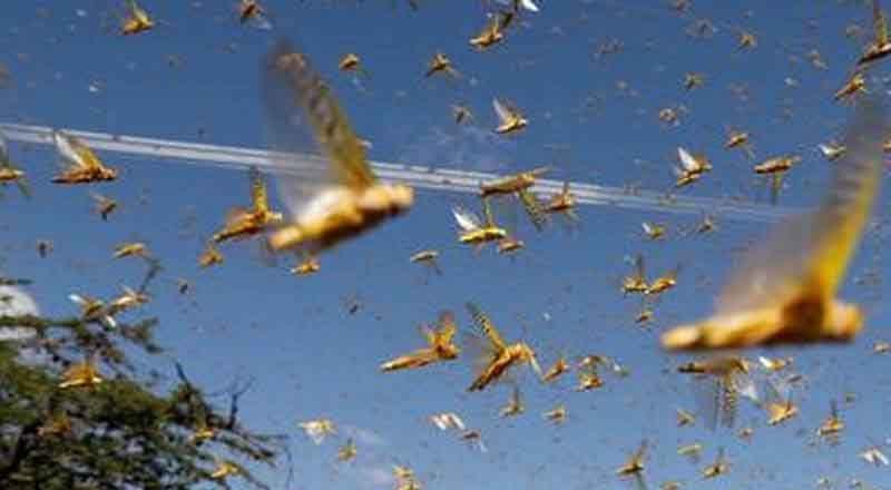 Worst-Locusts-attack